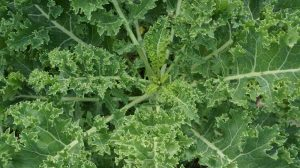 kale plant T H brown and son