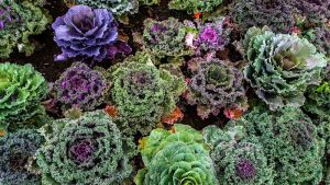 Kale varieties supplied by T H Brown & Son