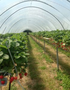 kent strawberry tunnels from TH Brown